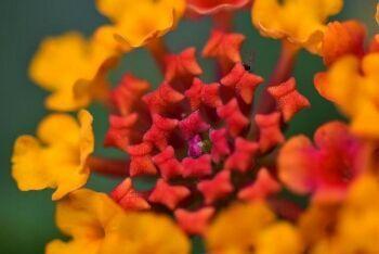Lantana flower, Bloemfontein, Free State