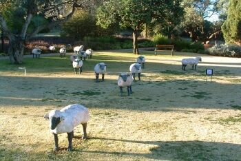 Sheep, Bloemfontein city park, Free State
